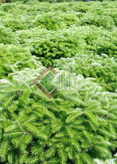 Abies koreana Briliant_1