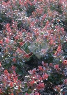 Berberis thunbergii Atropurpurea Nana_3