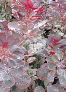 Cotinus coggygaria Royal Purple_2