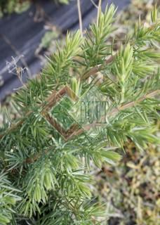 Juniperus conferta Schlager_2