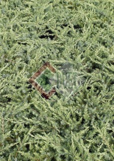 Juniperus conferta Schlager_3
