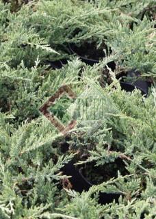Juniperus horizontalis Prince of Wales_1