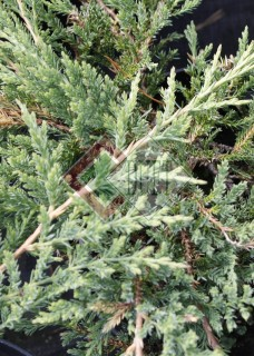 Juniperus horizontalis Prince of Wales_2