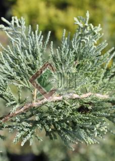 Juniperus horizontalis Wiltoni_1