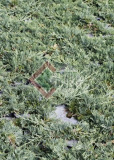 Juniperus horizontalis Wiltoni_3