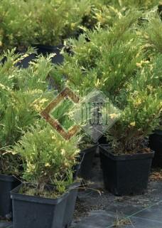 Juniperus sabina Variegata_1