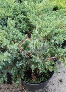 Juniperus squamata Blue Sweede_2