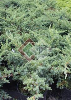 Juniperus squamata Blue Sweede_3