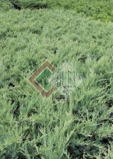Juniperus x pfitzeriana Hetzii_2