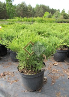 Juniperus xpfitzeriana Mint Julep_1