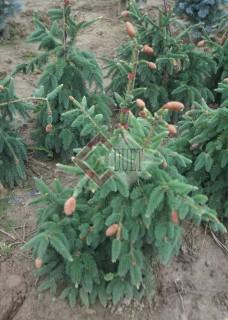 Picea abies Acrocona_2