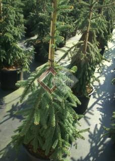 Picea abies Pendula Major_1