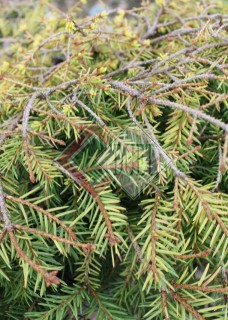 Picea abies Vermont Gold_1