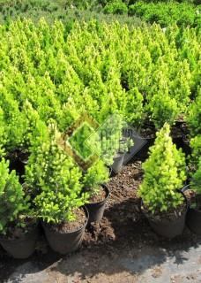 Picea glauca Rainbows End_2