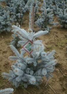 Picea pungens Fat Albert_1