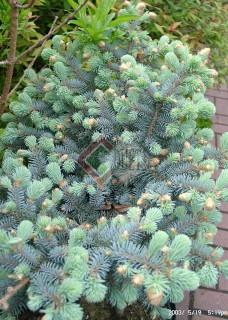 Picea pungens Glauca Globosa_4