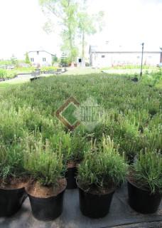 Pinus mugo Mughus_2