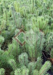 Pinus mugo Mughus_5