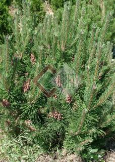 Pinus mugo_1