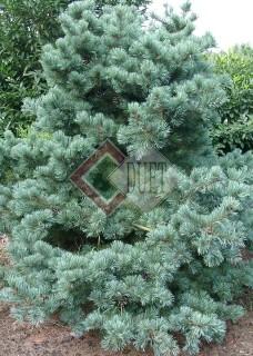 Pinus parviflora Glauca_2