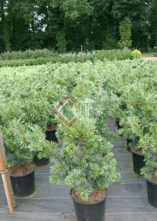 Pinus parviflora Tempelhol_1
