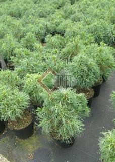 Pinus strobus Torulosa_1