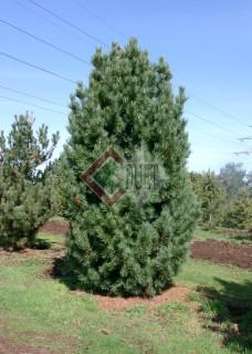 Pinus sylvestris Fastigiata_1
