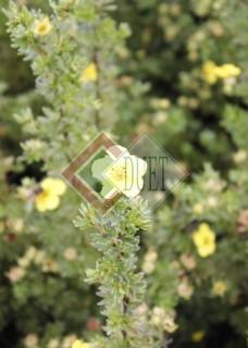 Potentilla fruticosa Annette_1