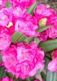 Rhododendron Delta_ 3