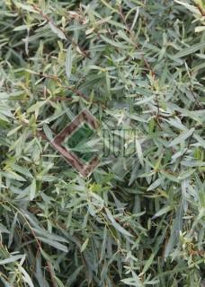 Salix purpurea Nana_1
