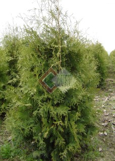 Thuja occidentalis Brabant_2
