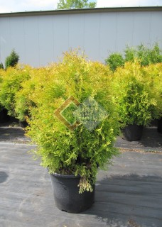 Thuja occidentalis Cloth of Gold_1