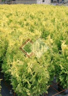 Thuja occidentalis Sunkist_1