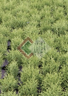 Thuja occidentalis Tiny Tim_2