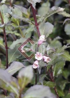 Weigela florida Purpurea_2