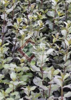 Weigela florida Purpurea_3