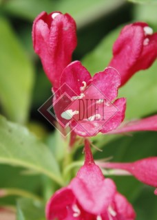 Weigela florida Red Prince_3