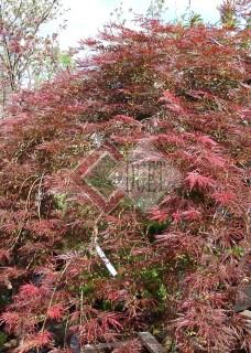 Acer palmatum Dissectum Garnet_