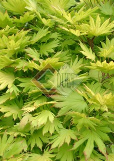 Acer shirasawum Aureum_3