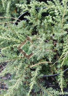 Juniperus communis Green Carpet_2