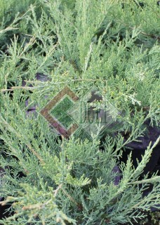Juniperus x pfitzeriana Hetzii_3