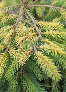 Picea abies Uwe Horstmann_1