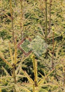 Picea abies Uwe Horstmann_3