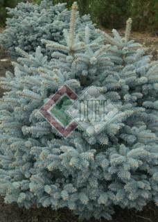 Picea pungens Glauca Globosa_3