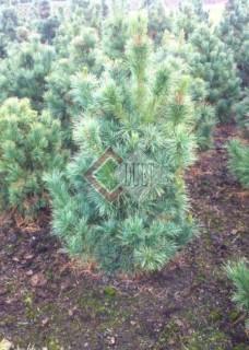 Pinus cembra_3