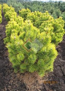 Pinus mugo Wintergold_1