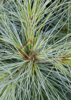 Pinus walichiana_2