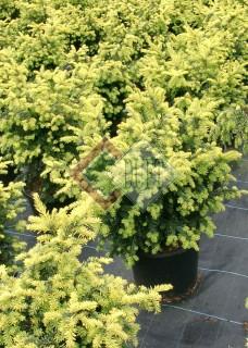 Taxus baccata Summergold_1