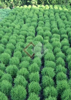 Thuja occidentalis Tiny Tim_3