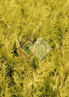 Thuja occidentalis Yellow Ribbon_3